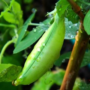 Bohnenpflanze in der Natur
